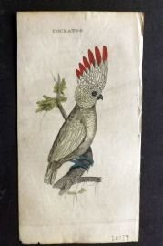 Brightly (Pub) 1815 Hand Col Bird Print. Cockatoo